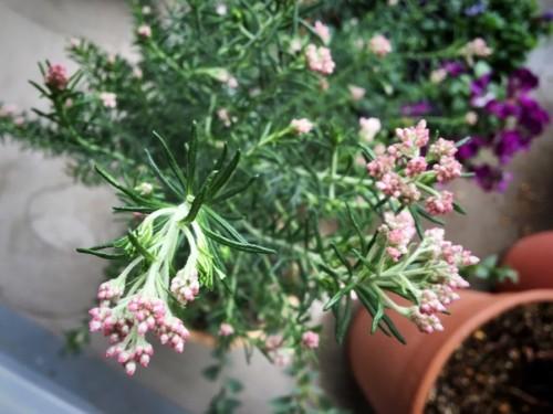 ピンクの小さな花がカワイイ ライスフラワー