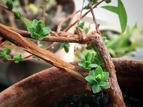 ユキヤナギの新芽