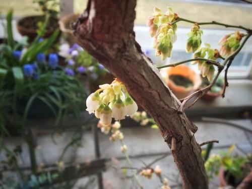 ブルーベリーの花はカワイイ
