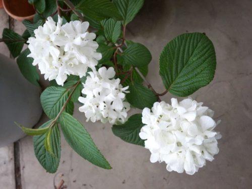 オオデマリ花は白