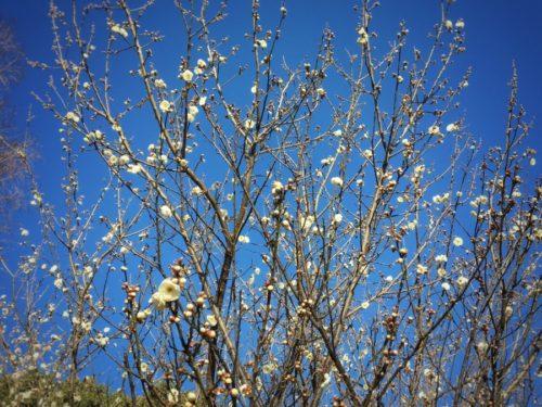 公園の梅はもう咲いています