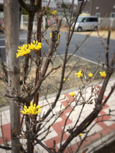 サンシュユの黄色い花 カワイイ♡