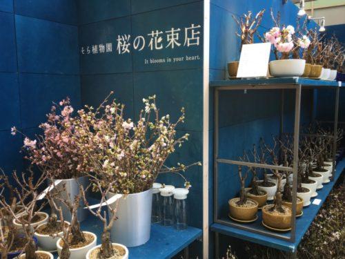 サクラの鉢植えと切り花のお店
