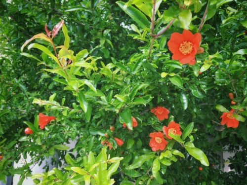 植栽のざくろのお花