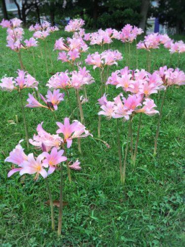 毎年お盆の頃に咲くリコリス