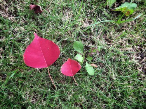 ナンキンハゼが少しずつ紅葉しています