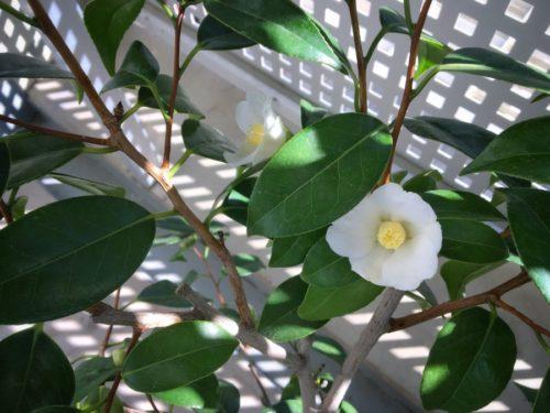 白い侘助 大好きな花