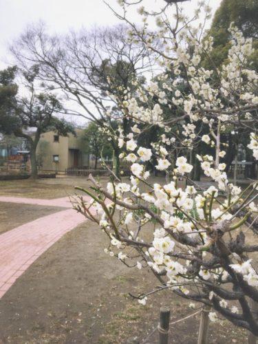 らふとのお庭の白梅