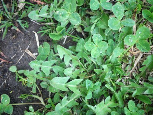 今日は雨のお散歩で四つ葉のクローバーを三つ見つけました