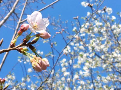 桜の季節がついにやってきました!