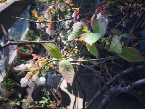 ブルーベリーの花も急にツボミがたくさん出てきました