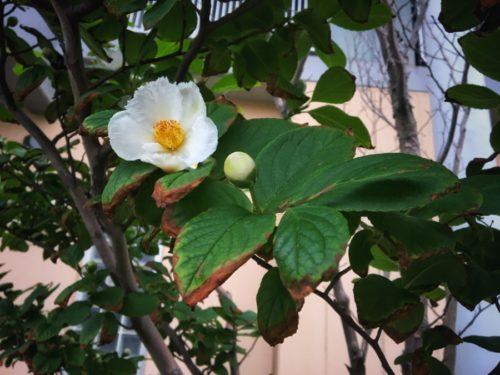 アパートの植栽 夏椿が咲いています