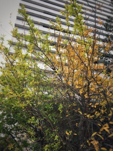 アパートの植栽のザクロ