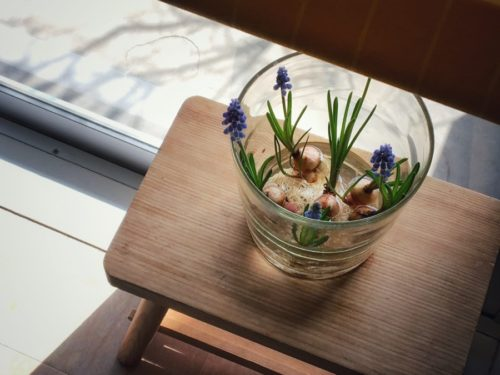 今年も花びんでムスカリの水栽培