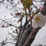 開花宣言!