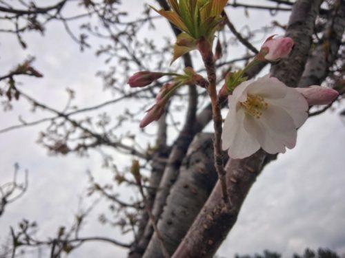 オオシマザクラも咲き始めました