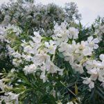 白い花が咲く
