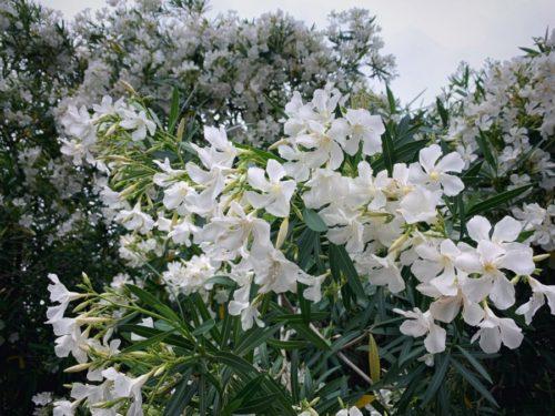 いま満開の白い花
