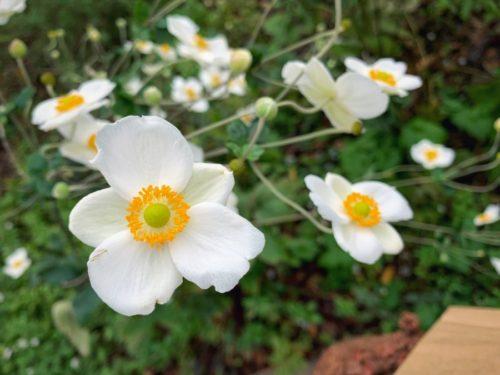 らふとのお庭には秋明菊がキレイ
