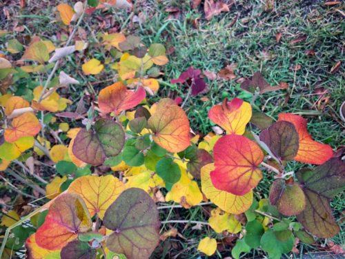 ハマボウ 美しい紅葉です