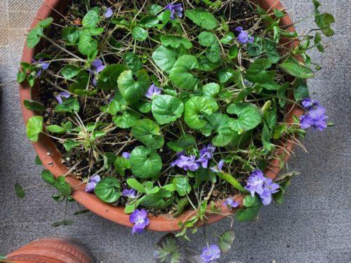 ベランダには確実に春がやって来ています