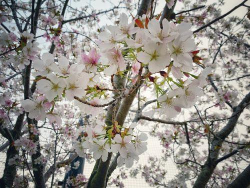 桜は満開なのにネ…。